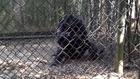 Joe the Chimpanzee's Rescue