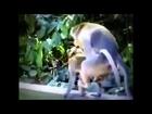 Monkey Mating ~ Cat mating cats mating & Super Breeding ~ Big Cats and Monkey Mating Breeding