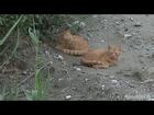 2014 9 3 罠をはる茶トラ兄弟 野良子猫達 today stray cat and kitten【瀬戸の野良猫日記】