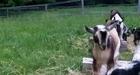 Viral Goats Go Hopping at Sunflower Farm