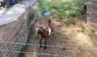 Funny Goat Has A Cage Crisis - Funny Animals